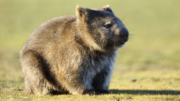 A message to you: The wombats are not listening.
