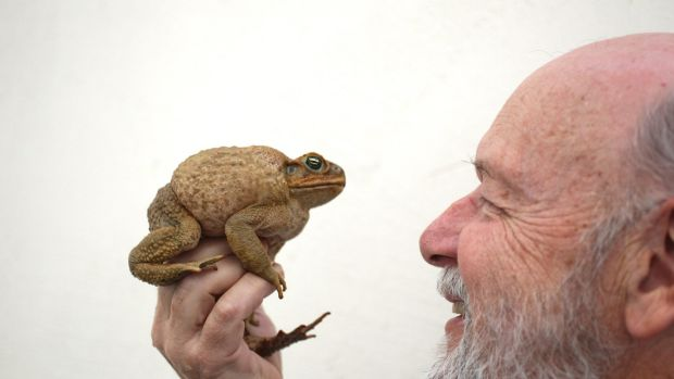 Professor Rick Shine of the University of Sydney and one of the invasive cane toads he has studied for decades.