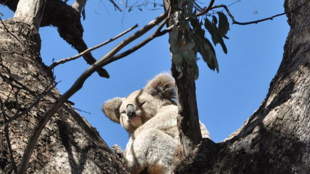Koala numbers in the Pilliga Forest have fallen from about 10,000 to less than 100 in 20 years.