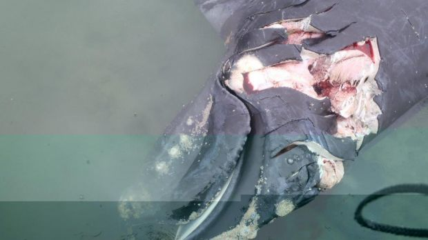 A whale that was struck by a boat and killed in Moreton Bay has been found near Peel Island.