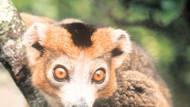 Lemurs are native to only one country, where forest-clearing threatens their habitat.