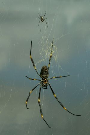 Golden orb spiders are fatter in the city.