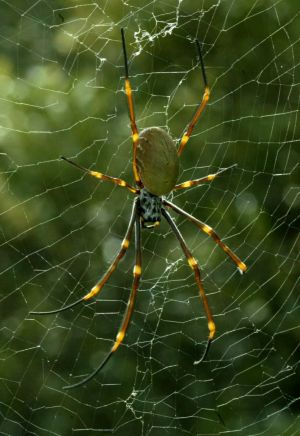 A golden orb spider.