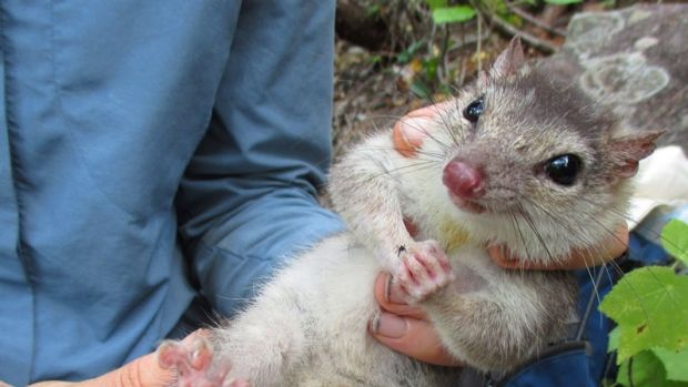 Scientists have discovered a healthy group of endangered quolls.
