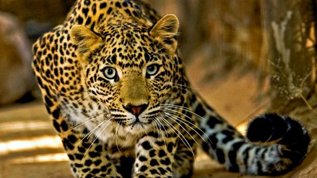 To the death: A 56-year-old Indian villager used farming tools to fight a leopard which attacked her in the northern ...