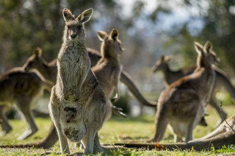 Kangaroos in Weston Park, Yarralumla, where the government has been conducting a kangaroo fertility trial.