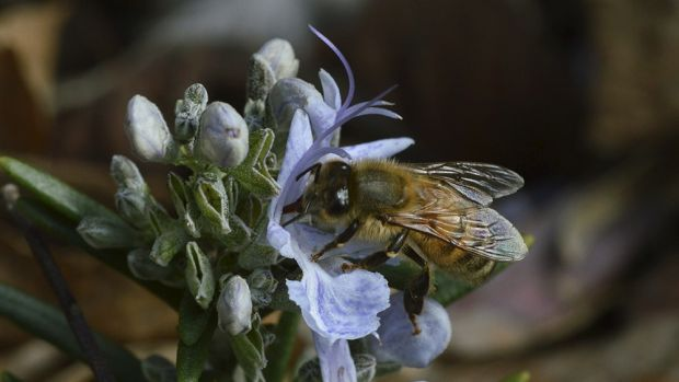 Feeling the buzz: Bees pollinate the flowers of at least one third of wild and farmed plants but their numbers are ...