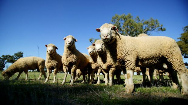 Sheep thrills: Australia is not only exporting live sheep to Asia but also cattle as well.