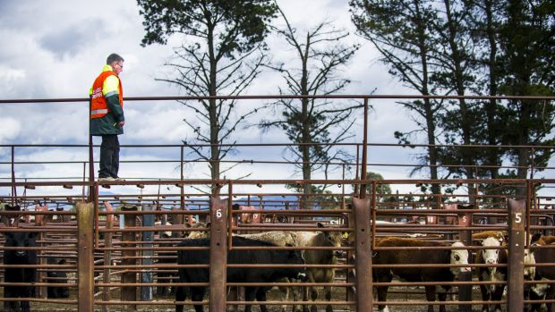 ON GUARD: ACT Territory and Municipal Services senior manager, biosecurity, Stephen Hughes at the Oaks Estate saleyards. ...