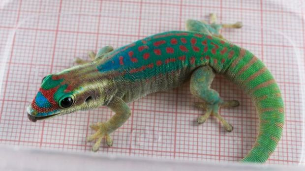 One of the geckos used in the Russian reproduction experiment.