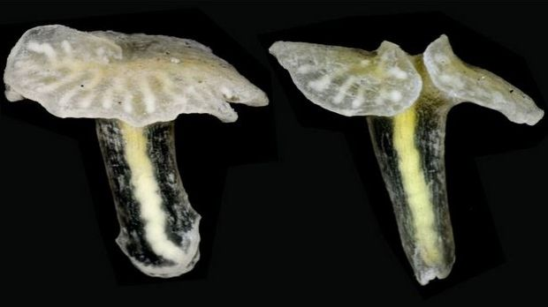 The mysterious, mushroom-like Dendrogramma could 'rewrite whole textbooks in zoology.'