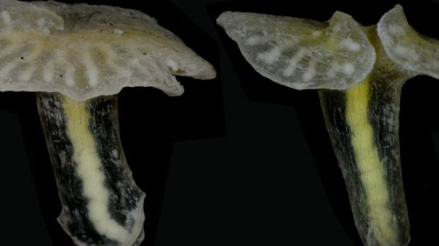Tiny, jellyfish-like Dendrogramma species could represent a major new category in the animal kingdom.
