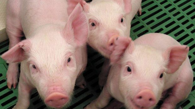 Antibiotics need to be administered daily to treat pig diarrhoea, known as scour.