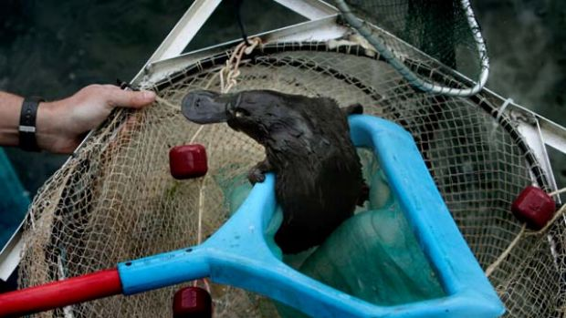 Freed ... the six-month-old platypus is rescued after several hours of being trapped in a pipe at the Penrith Sydney ...