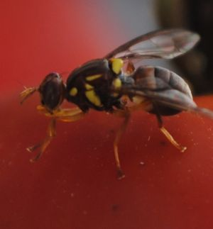 Fly offspring can resemble their mothers' previous partner.