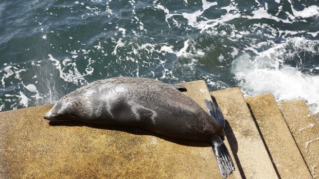 The New Zealand fur seal on the steps of the Opera House in October.