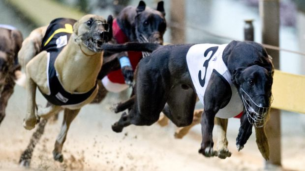 RQ took more than 150 greyhounds from three different kennels into its care, after their owners were implicated in the ...