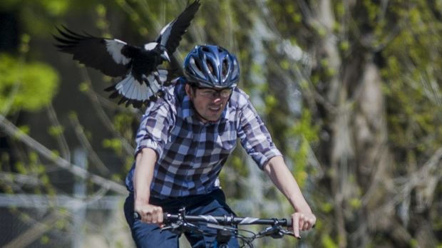 Canberra Times photographer Jay Cronan offered himself up to be swooped by a magpie last year.
