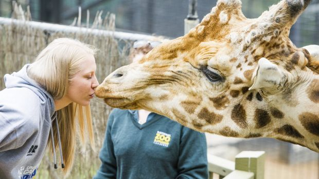 Canberra Capitals player Abby Bishop kisses Hummer the giraffe at the National Zoo & Aquarium as the Capitals launch ...
