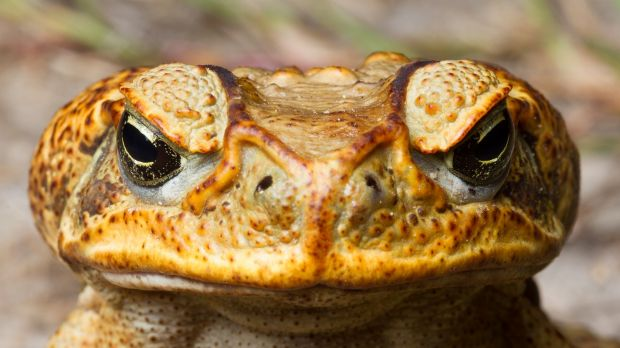The male and female toads could have sparked a satellite population.