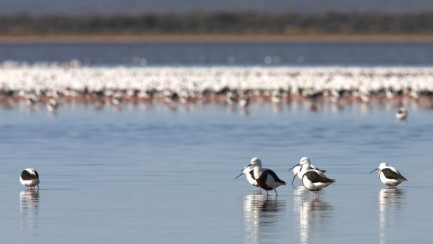 Banded stilts travel vast distances to breed in desert salt lakes.