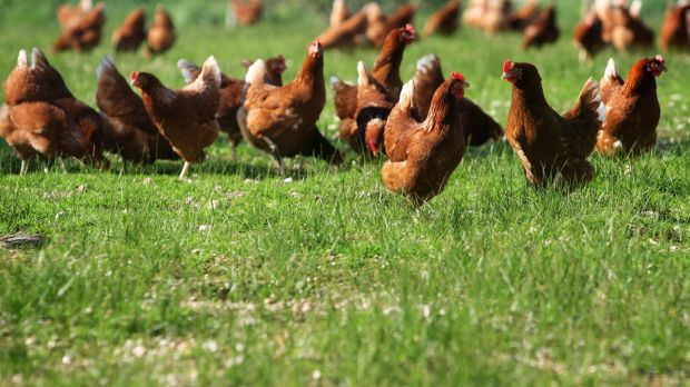 Free-range eggs: It depends on your definition.