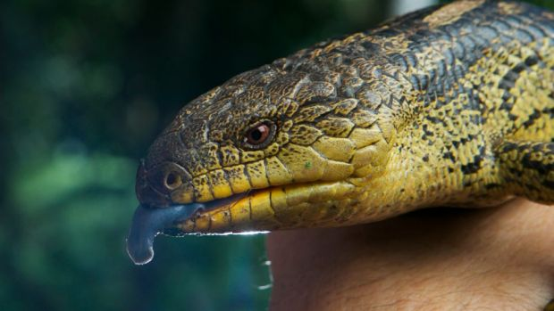A blue tongue lizard was among the wildlife found in the car. (File pic)
