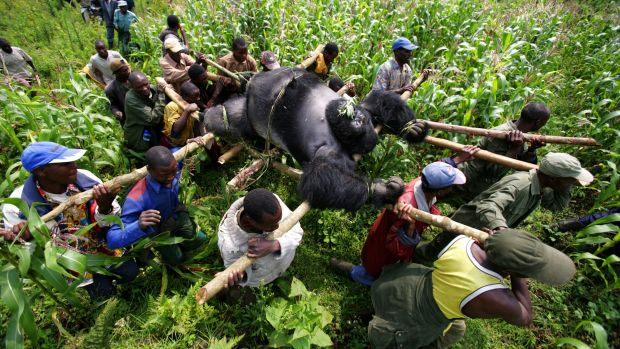 The killing fields: Conservation Rangers from an anti-poaching unit work with locals to evacuate the bodies of four ...