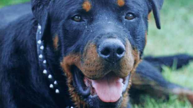 At risk: There are fears dogs are being stolen for fighting.
