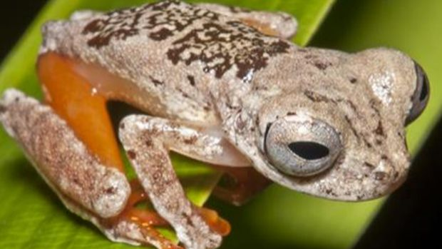 Dendropsophus ozzyi or Bat Frog, seen here in its Amazon habitat, has an unusually high-pitched, chirpy call.