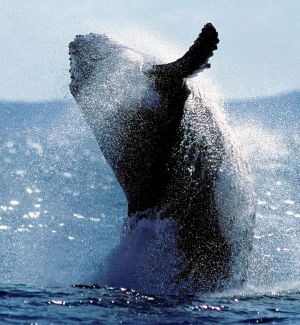 Humpback whale: the Great Barrier Reef was an early marine region to get protection.