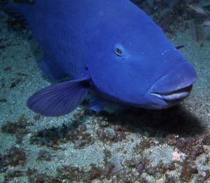 Worth preserving: The blue groper.