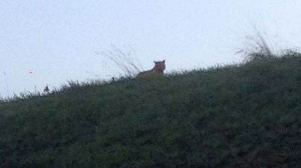 Hello: A picture taken by a passerby of what is said to be the tiger in Montevrain.