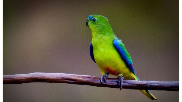 Critically endangered: Orange-bellied parrots live in the wetland where the marina could be built.