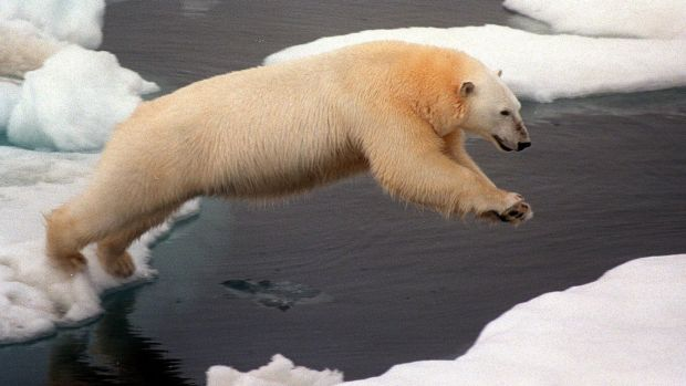 Early indicator: Polar bears have long been followed as scientists as indicators of global warming.