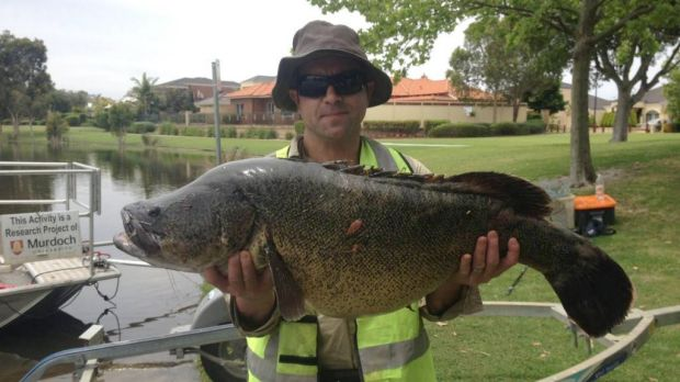 The 15kg cod was found in a Canning Vale lake.