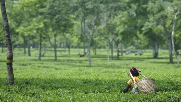 The plight of Indian tea workers has become the focus of a major international campaign.