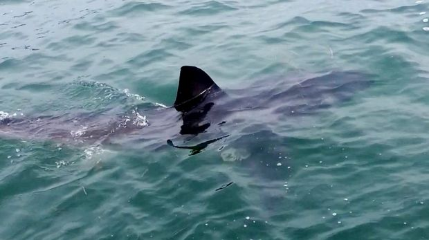 A great white shark cruises next to the jetty at Murrays Beach, Lake Macquarie.