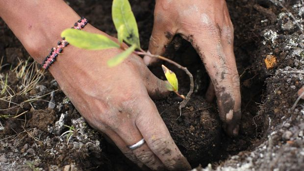A worker plants seedlings at Huayquecha Biological Station near Paucartambo. Locals farming in areas of the Peruvian ...