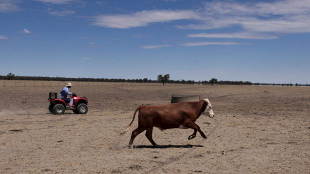 The big dry: Farmer Neil Kennedy musters his cattle in December 2014 in Coonamble, NSW.