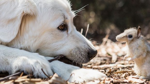 Unlikely match: Guardian dogs are being trained - initially with plush toys - to protect endangered eastern barred ...