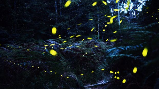 Magical: Fireflies blinking among Australian ferns in the early evening in a sheltered canyon west of Sydney.