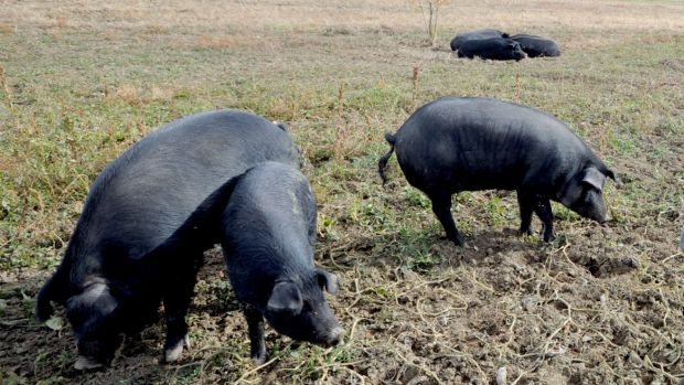 A group of feral pigs will be monitored to assess the environmental impact they have in WA