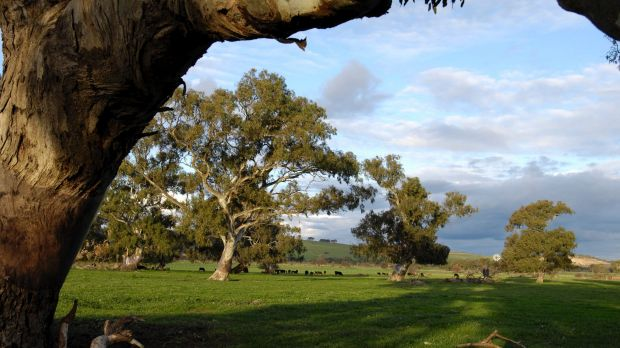 Even eucalypts could be under threat from rising temperatures.