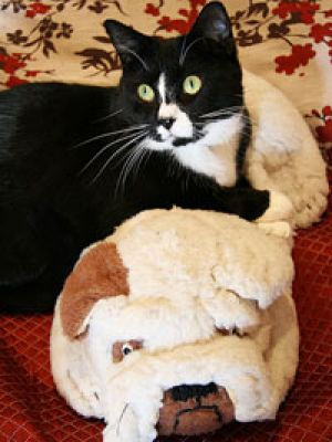 This moggie and bulldog would be a perfect combination for apartment living.