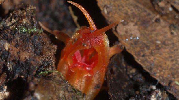 A new species of flower discovered in the Blue Mountains smells of rotting fish.