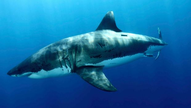While detections of the shark were posted on social media, as listed as one of the mitigation strategies the policy ...