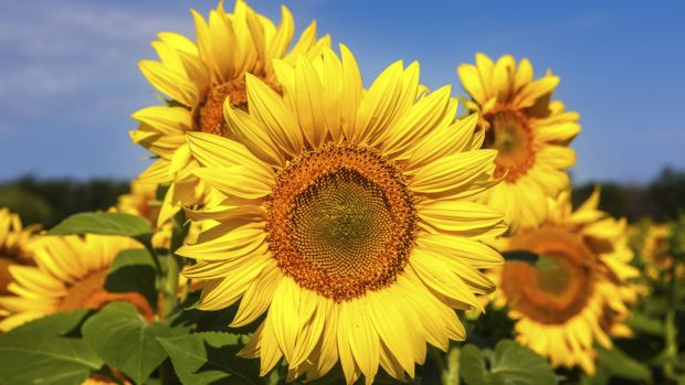 Sunflower seeds face an uncertain path to grieving crash victims.