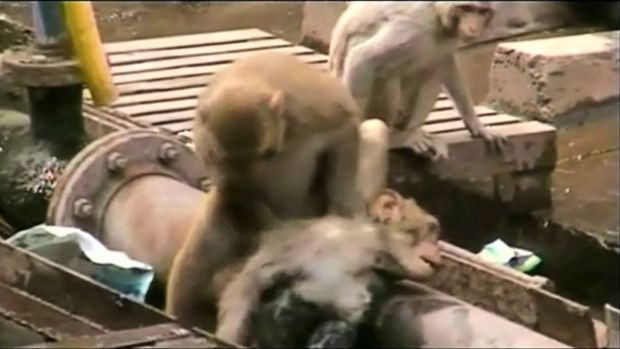 A monkey works to bring back to life a fellow primate that had fallen unconscious.
