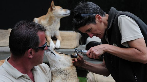 Animal whisperer: Mogo Zoo operations manager Paul Whitehorn holds Mitchell the dingo as on-site vet Dr Sam Young checks ...